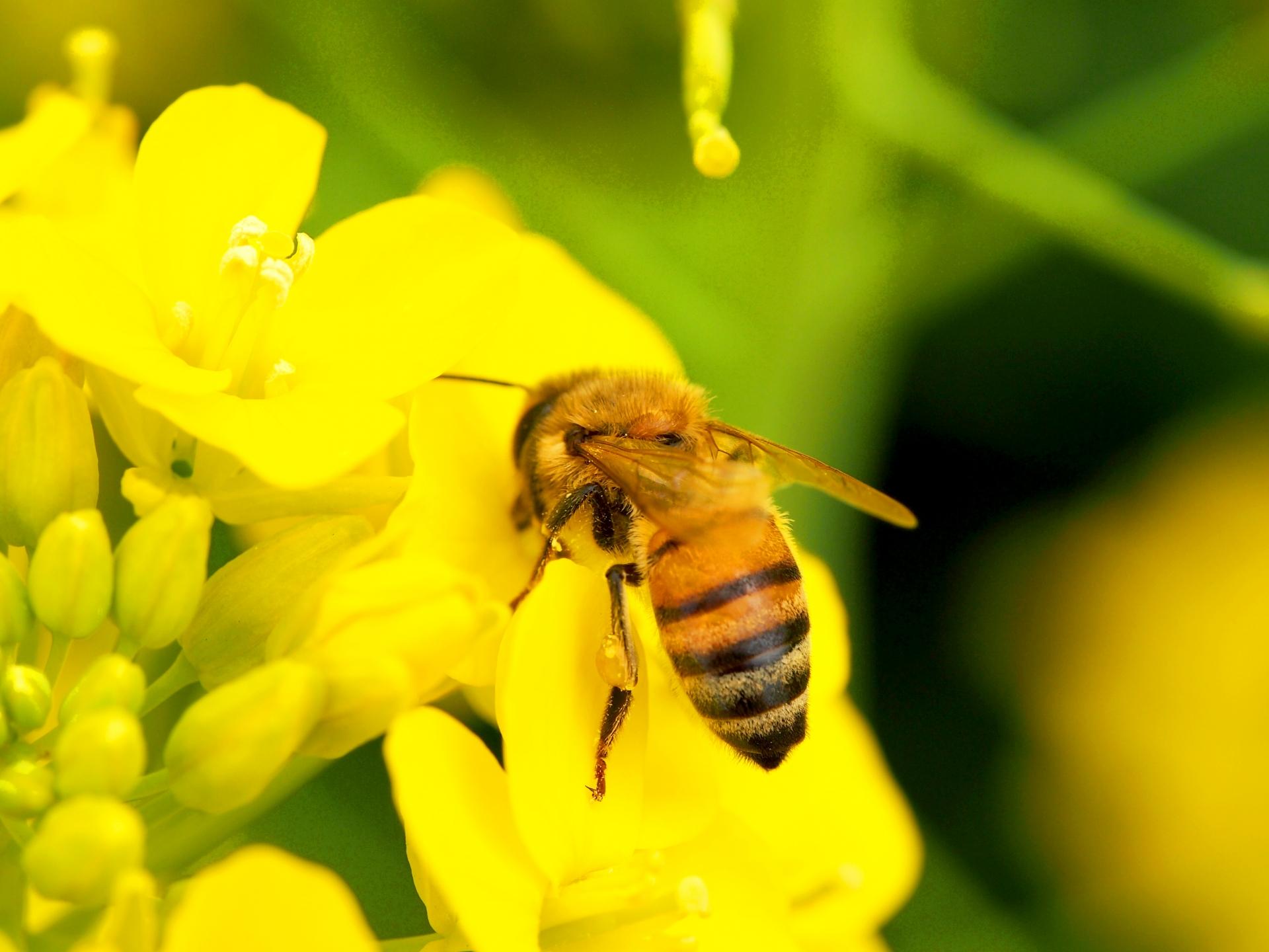 ミツバチとネオニコチノイド系農薬
