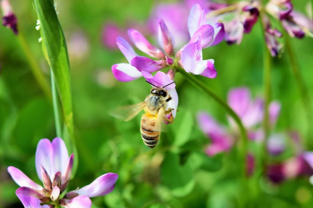 一匹のミツバチが生涯で集めるはちみつの量