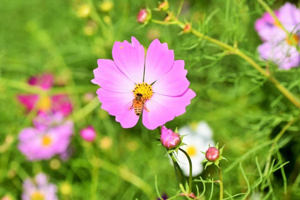 ミツバチが生涯で集めるはちみつの量